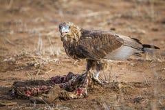 Bateleur老鹰在克留格尔国家公园,南非 免版税库存照片