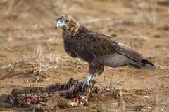 Bateleur老鹰在克留格尔国家公园,南非 库存照片