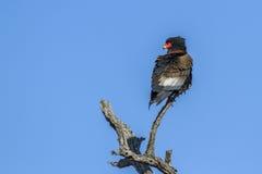 Bateleur老鹰在克留格尔国家公园,南非 免版税库存图片