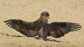 Bateleur老鹰-从非洲的狂放的鸟背景-动物界天使和她的翼 免版税图库摄影