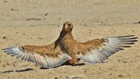Bateleur老鹰-从非洲的狂放的鸟背景-动物界天使和他们的翼 库存照片