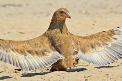 Bateleur老鹰-从非洲的狂放的鸟背景-动物界翼天使亮光  免版税图库摄影
