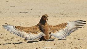 Bateleur老鹰-从非洲的狂放的鸟背景-自豪感翼  免版税图库摄影