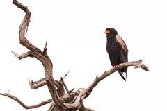 Bateleur в мертвом дереве Стоковые Изображения RF