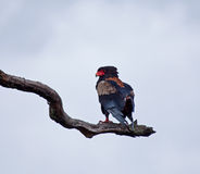 Bateleur Stock Photos