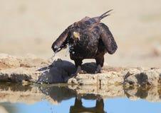Bateleur. Photographed in the Kalahari royalty free stock image