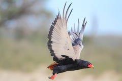 Bateleur. Photographed in the Kalahari royalty free stock photo