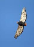 Bateleur. In flight photographed in the Kalahari Stock Photos