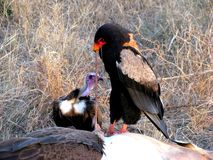 Bateleur Photo stock