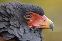 Bateleur Royalty Free Stock Photography