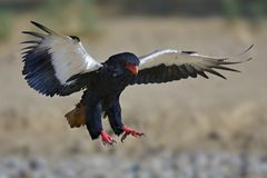 Bateleur. Terathopius Ecaudatus; South Africa; Kalahari desert Royalty Free Stock Photos
