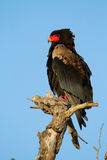Bateleur Adler Stockfotos