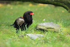 Bateleur. The adult bateleur standing in the grass royalty free stock photo