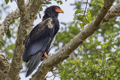 Bateleur. S were once common, but are now a threatened species. Still seen in most parts of Kenya, mostly over dry bush Stock Photos