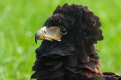bateleur blisko orła, Zdjęcie Royalty Free