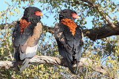 Bateleur Couple. Bateleur photographed in South Africa stock images