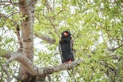 Bateleur, das in einem Baum sitzt Stockbild