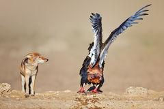 Bateleur disturbed by a jackal at waterhole Royalty Free Stock Image