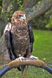Bateleur Eagle. On perch Stock Images