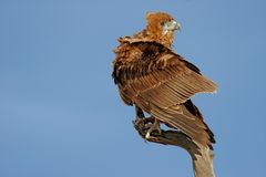 Bateleur eagle Stock Photography