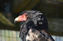 Bateleur eagle. A profile of a bateleur eagle stock photo