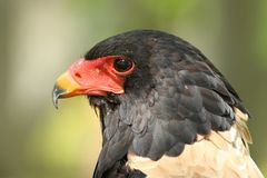 Bateleur Eagle Royalty Free Stock Photography