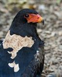 Bateleur eagle. Closeup portrait of a bateleur eagle Stock Images