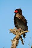 Bateleur eagle Stock Photos