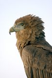 Bateleur Eagle. Looking to the Left stock photo