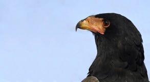 Bateleur eagle Stock Images