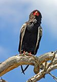 Bateleur Eagle in Africa. A bateleur eagle (Terathopius ecaudatus) in South Africa Royalty Free Stock Image