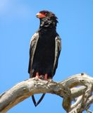 Bateleur Eagle in Africa Royalty Free Stock Photography