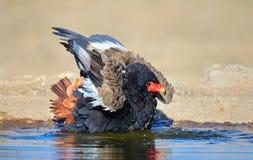 Bateleur eagle bathing in waterhole Royalty Free Stock Images