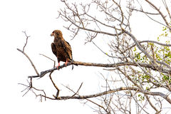 Bateleur Eagle on Branch - Isolated. Bateleur eagle in South Africa on tree branch isolated over white royalty free stock photos