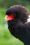 Bateleur Eagle Royalty Free Stock Photo