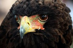 Bateleur eagle. Close up view of the head of a bateleur eagle royalty free stock photo