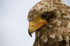 Bateleur eagle. Close up view of the head of a bateleur eagle royalty free stock image