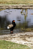 Bateleur Eagle. Cooling down time in the Okovango Delta royalty free stock photography