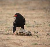 Bateleur Eagle, den Terathopius ecaudatusen och att se lämnade, efter att ha knäckt öppet sköldpaddaskalet royaltyfria foton