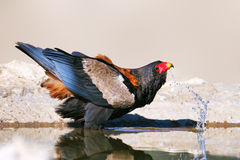 Bateleur eagle drinking water royalty free stock image
