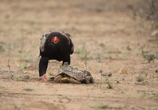 Bateleur Eagle, ecaudatus de Terathopius, regardant directement la caméra photo libre de droits