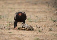 Bateleur Eagle, ecaudatus di Terathopius, esaminante diritto la macchina fotografica fotografia stock libera da diritti