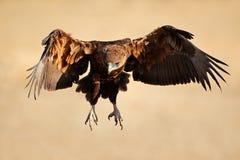 Bateleur eagle in flight. Immature Bateleur eagle (Terathopius ecaudatus) in flight, South Africa stock photo