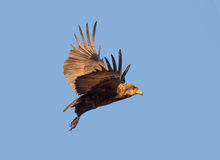 Bateleur eagle in flight. Juvenile Bateleur (Terathopius ecaudatus) eagle in flight against blue sky - Kruger National Park (South Africa stock photography