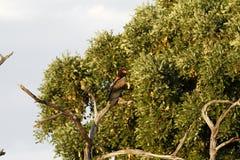 Bateleur Eagle Royalty Free Stock Photography
