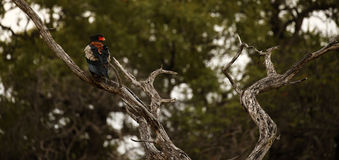 Bateleur Eagle. The Bateleur Eagle has near threatened conservation status royalty free stock image