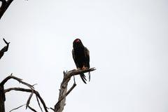 Bateleur Eagle. The Bateleur Eagle has near threatened conservation status stock photography