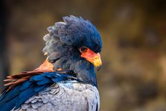 Bateleur Eagle head and shoulders profile. A close up view of a beautiful bateleur eagle royalty free stock image