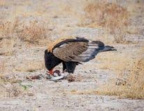 Bateleur Eagle karmienie Zdjęcia Royalty Free