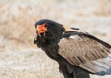Bateleur Eagle karmienie Obraz Stock